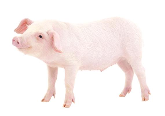 Happy New Year 2019 (Pig)